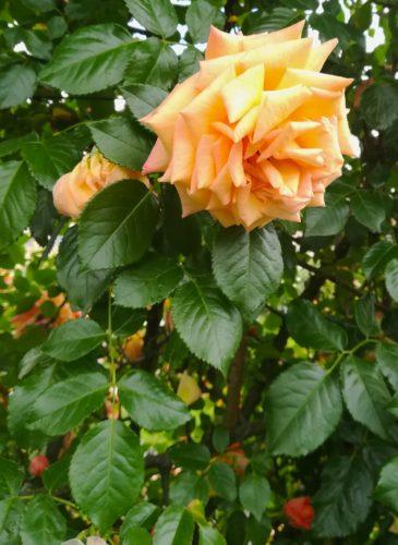Orangerie Monza